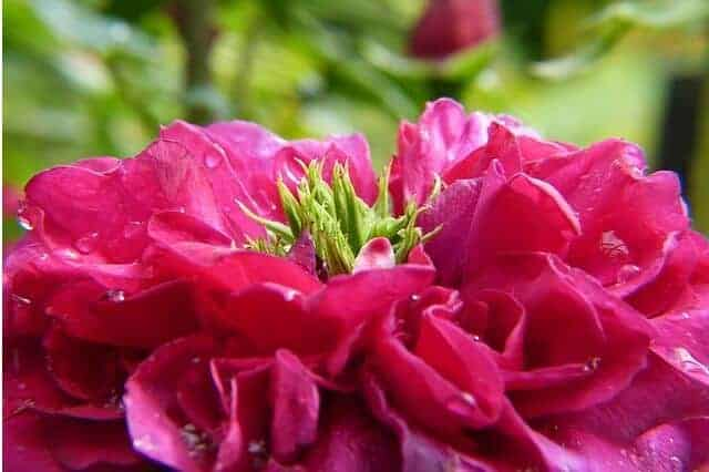 Kwiat róży koloru różowego